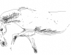 konj-skica